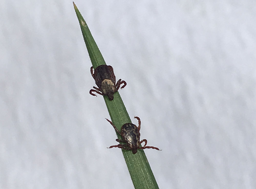 Wood ticks on a blade of grass